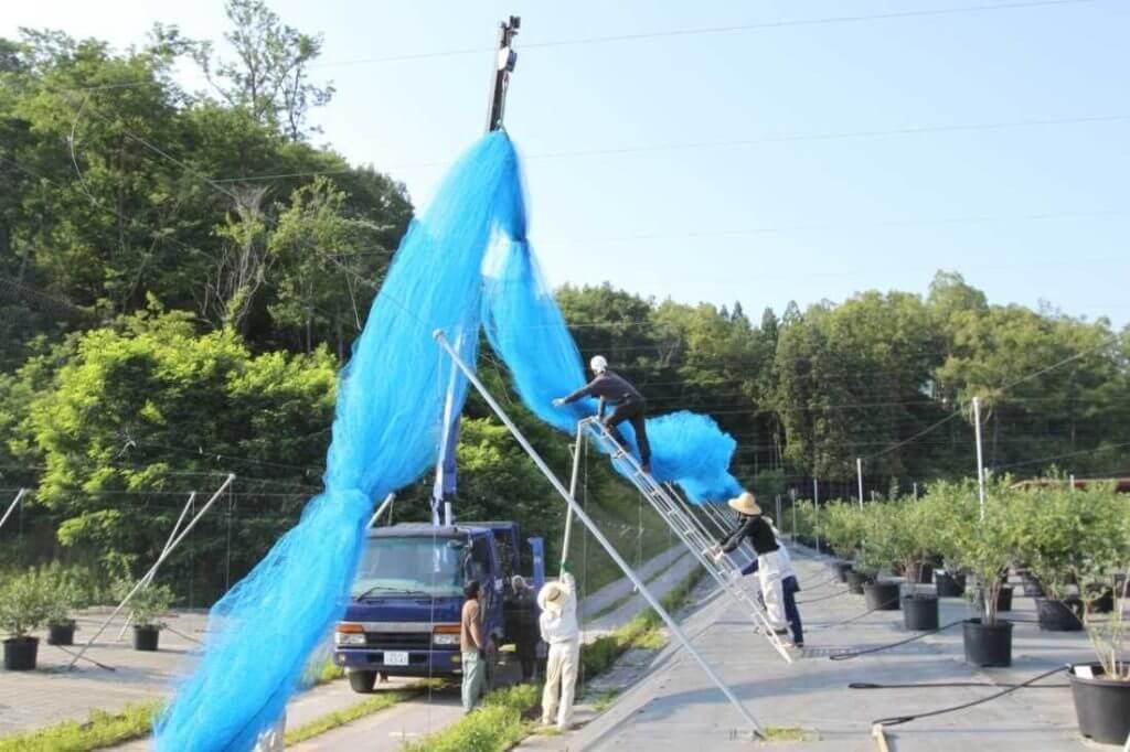ブルーベリーの鳥よけネットを設置します