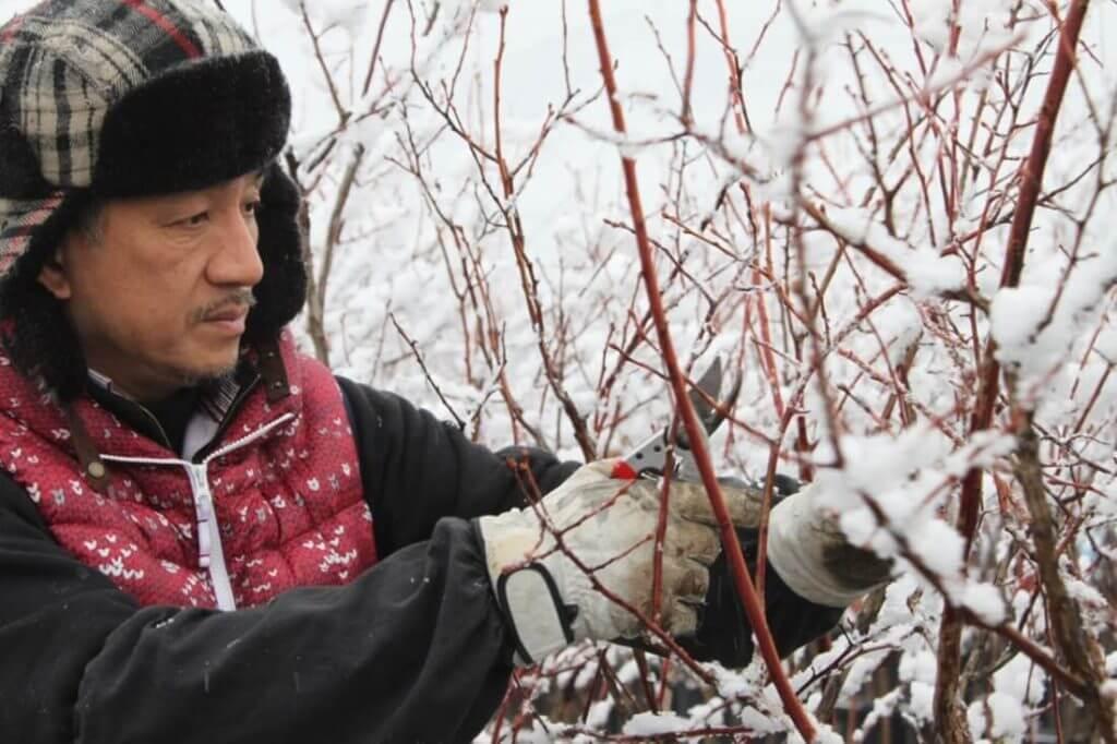 ブルーベリーの冬場の剪定は品質の向上にとても重要です