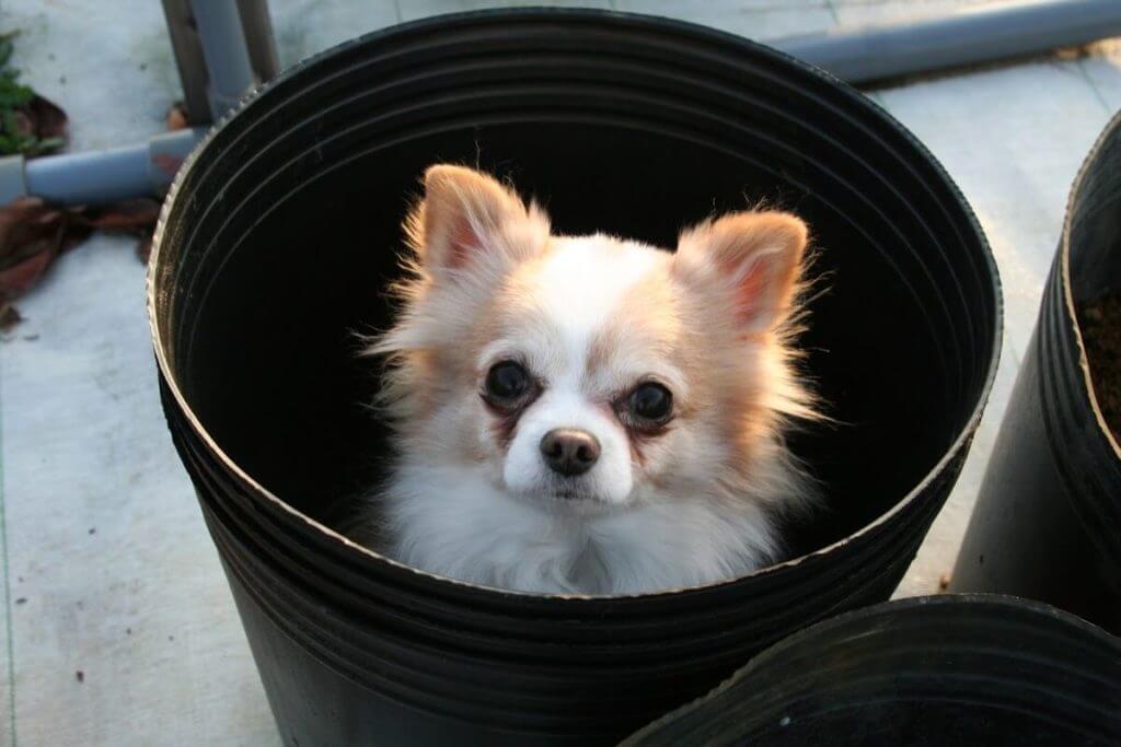 ブルーベリーを犬に食べさせても大丈夫?