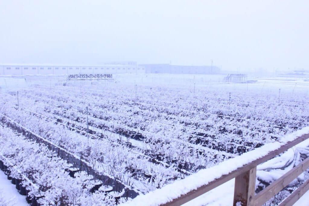 冬場の須坂ブルーベリー農園の風景