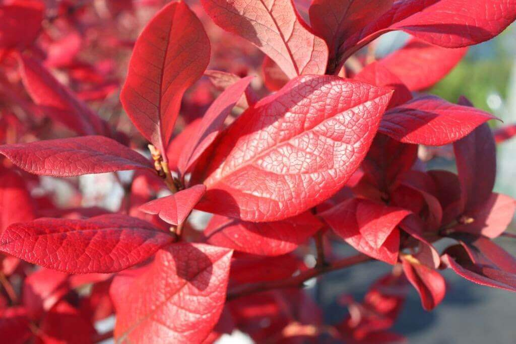 秋になるとブルーベリーの葉は紅葉します