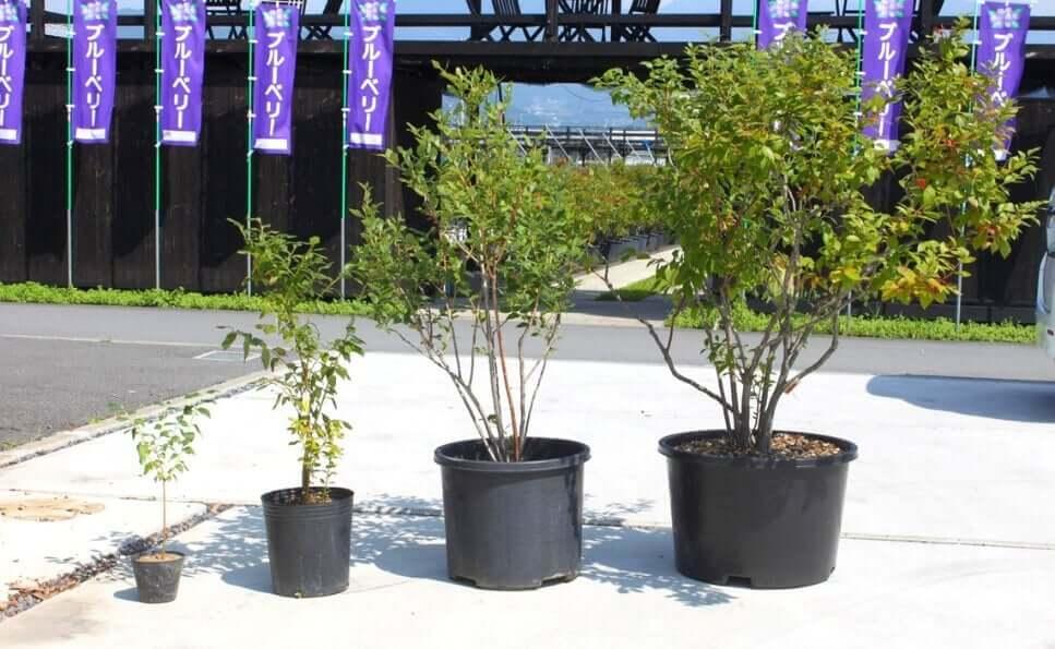 ブルーベリーの苗木、2年物や4年物などがある
