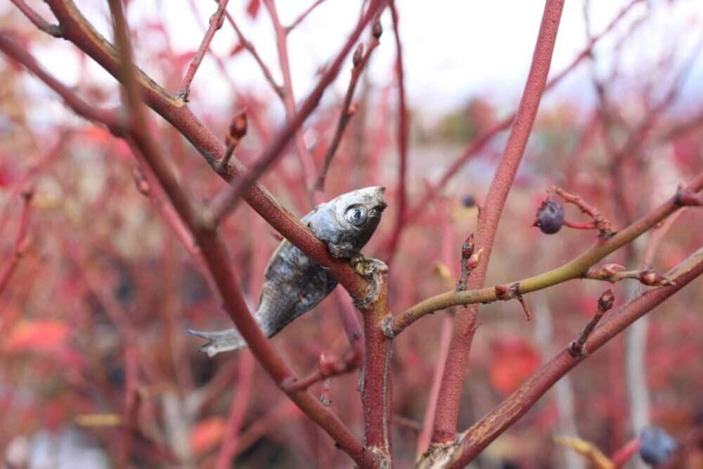 ブルーベリーの枝に来るモズのはやにえ