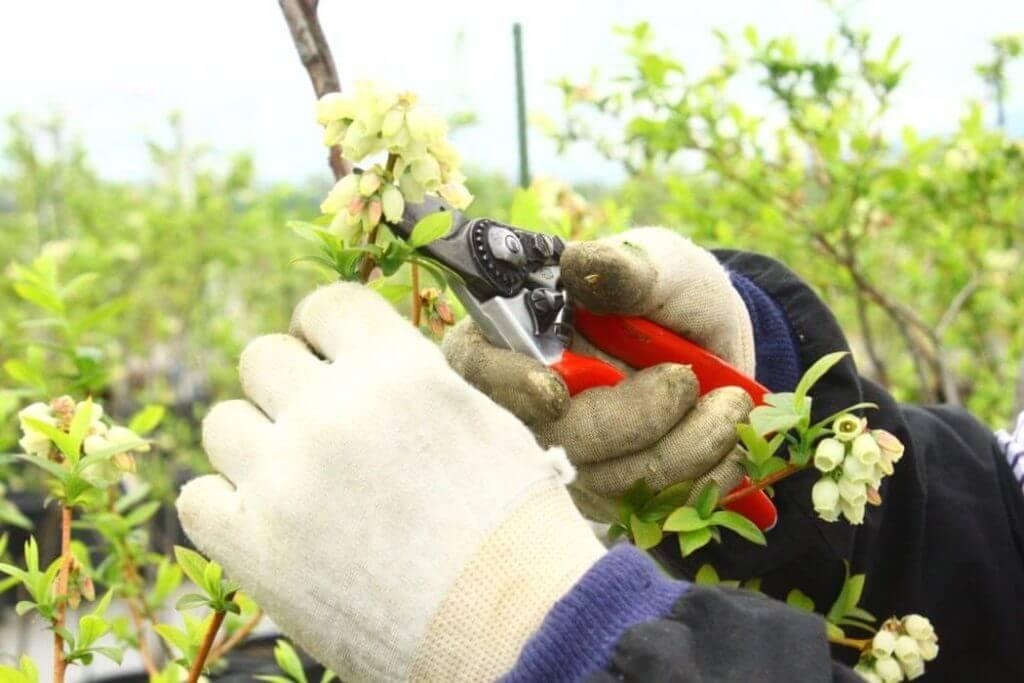 ブルーベリーの剪定と摘果作業に軍手とハサミは必需品
